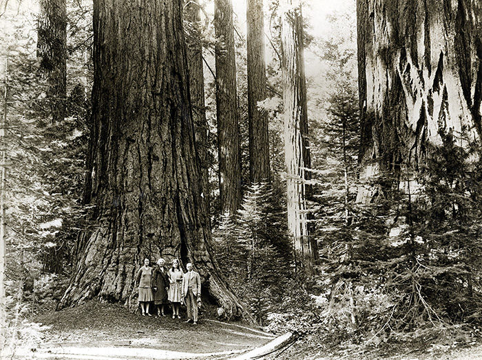 Visitors in the 1920s stand among colossal giant sequoia in what is now Calaveras Big Trees State Park. Photographer unknown, circa 1920s, Save the Redwoods League photograph collection, BANC PIC 2006.030. The Bancroft Library, UC Berkeley.