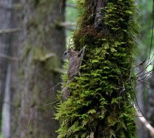 Humboldt's flying squirrel. Photo by Nick Kerhoulas