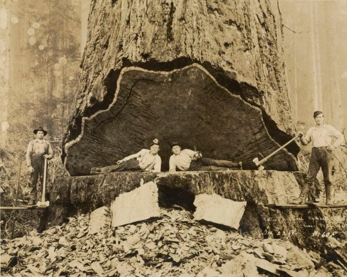 Darius Kinsey, Falling Redwood, Humboldt County, California, 1906.