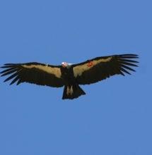 California Condor in flight over the Big Sur Coast. Photo by Carie Battistone, California Department of Fish and Wildlife