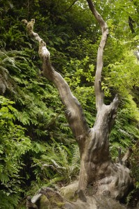 What story does this gnarled tree in Fern Canyon at Prairie Creek Redwoods State Park have hidden within?