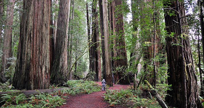 Image result for redwood photos