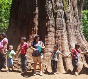 Memories of Redwoods and Sequoia