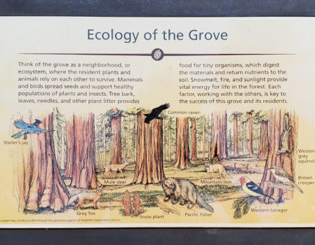 Mariposa Grove features new interpretive signage produced with the League's expertise. Photo by Paul Ringgold.