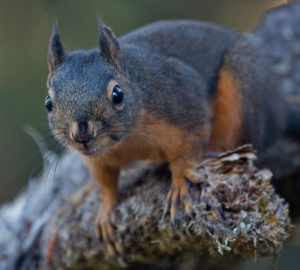 Chickaree (Douglas's Squirrel) Photo by Peter Pearsall/U.S. Fish and Wildlife Service