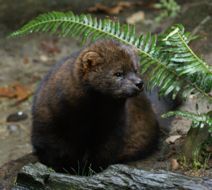 The Pacific fisher has been dying from the rodenticides used in marijuana cultivation. Photo by Bethany Weeks, Flickr Creative Commons