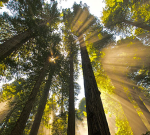 Coast redwoods grow naturally today only in a narrow 450-mile strip along the Pacific coast from central California to southern Oregon. Photo by Jon Parmentier