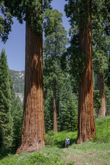 A person between two giant sequoia trees