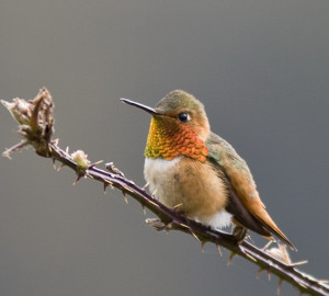 This Allen's hummingbird was spotted at Prairie Creek Redwoods State Park. Photo by Ron LeValley.