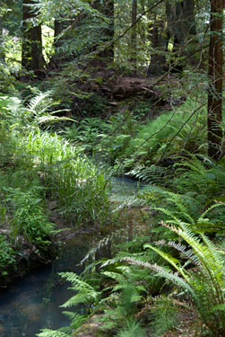 The ten sword fern plots in Big Basin State Park are located along the lush Opal Creek.