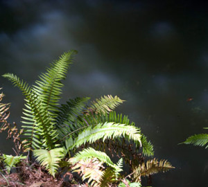Some sword ferns grow right along creek edge to get maximum water and sunlight.