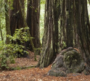 Big Basin Redwoods State Park. Photo by Peter Buranzon
