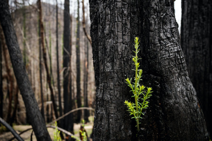 A bright green sprout growing from the base of a dark burned tree trunk