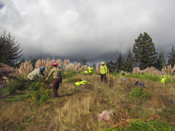 The California Conservation Corps removes invasive pampas grass. Photo by David H. LaFever