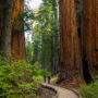 Free Second Saturday: Special Birthday Edition 2018. Calaveras Big Trees SP. Photo by Max Forster.