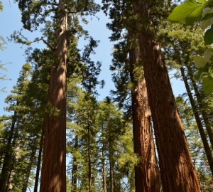 Giant sequoia forest photo by Tom Hilton, Flickr Creative Commons
