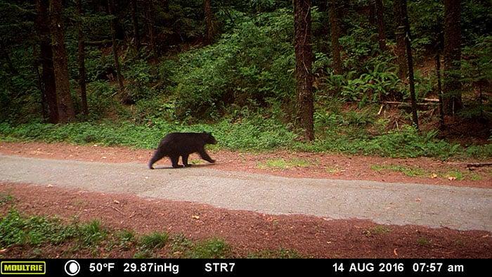 Black bear caught on wildlife camera at Orick Mill site.