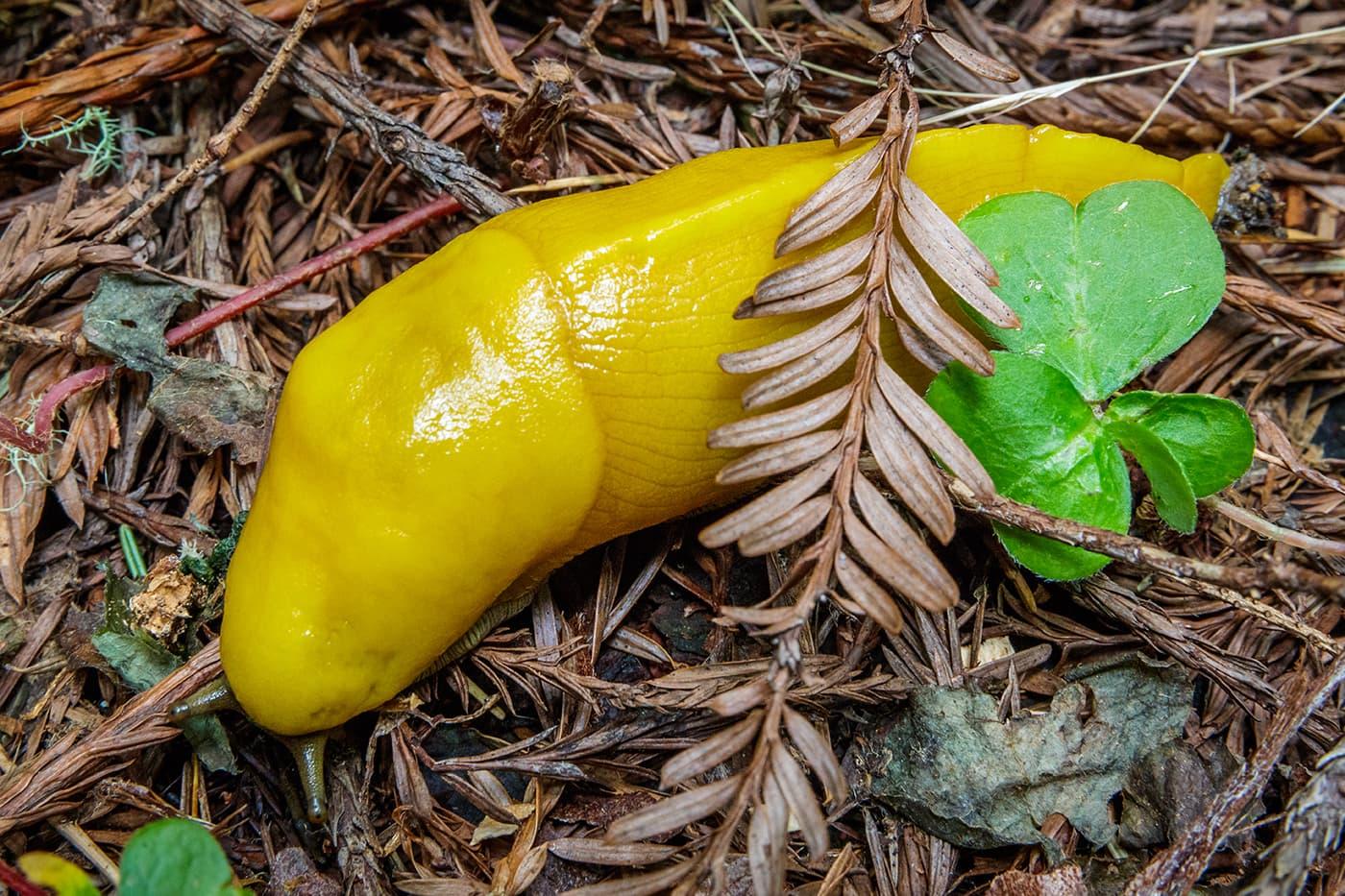 Yellow Banana Slug
