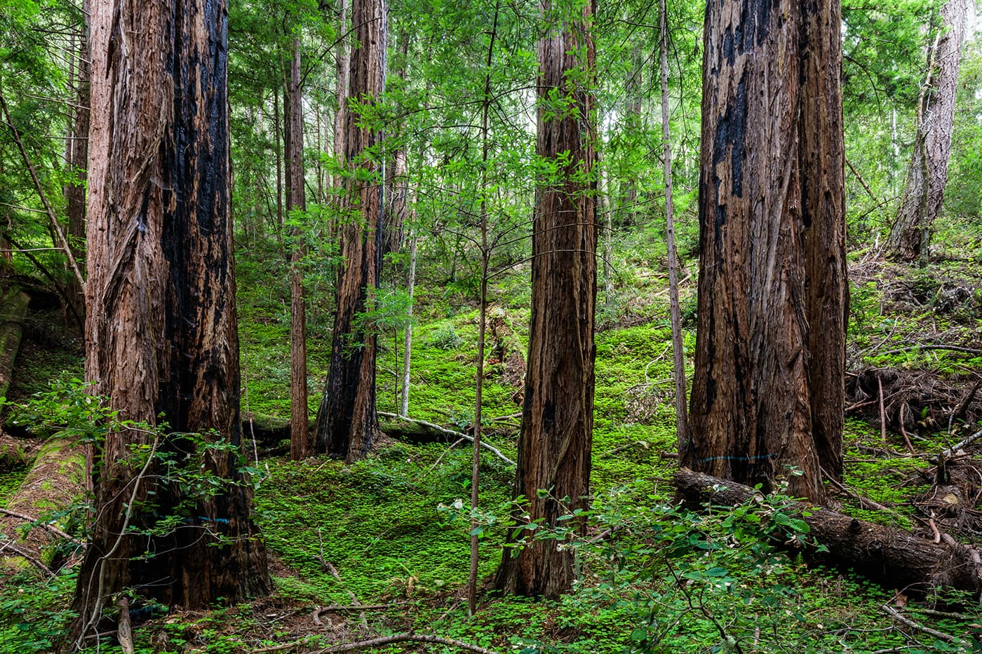 Redwoods nestled in a bed of sorrels on Cascade Creek, in the ancestral territory of the Quiroste tribe.