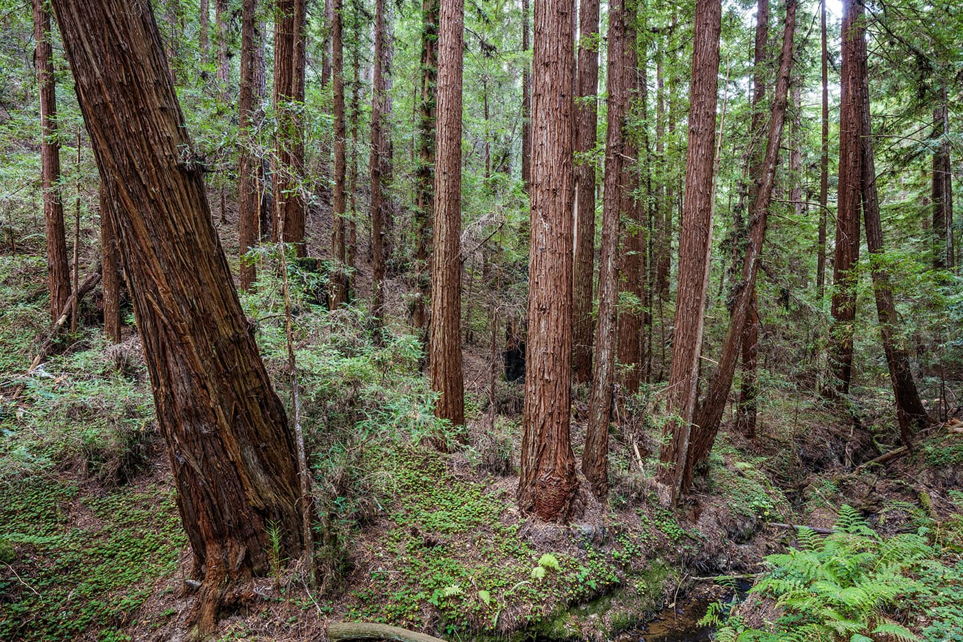 Second growth redwood trees abound on Cascade Creek