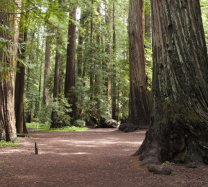 Montgomery Woods State Park. Photo by Peter Buranzon