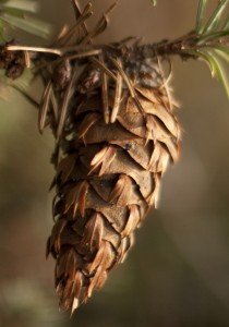 "A Douglas fir cone with its ""mouse tails."""