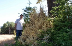 Tom Stapleton standing next to the remotest albino redwood found. Located in the Southern Sierra, this tree grows in one of the hottest and driest environments known. Photo by Tom Stapleton.