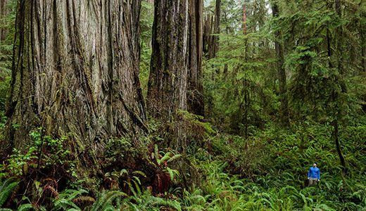 Jedediah Smith Redwoods State Park. Photo by Max Forster