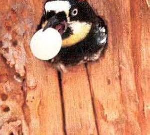 Acorn woodpecker. Photo by Walt Koenig