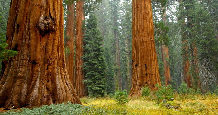 Mariposa Grove's giants. Photo by Jenkinson2455, Flickr Creative Commons