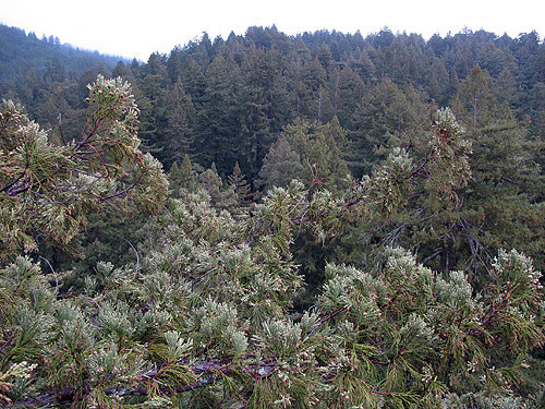 Branches of redwoods in the dry portion of its range, such as in Big Basin Redwoods State Park, are often long, lacking bifurcations, and covered with small epicormic shoots bearing foliage and cones. Photo by Stephen Sillett, Institute for Redwood Ecology,  Humboldt State University