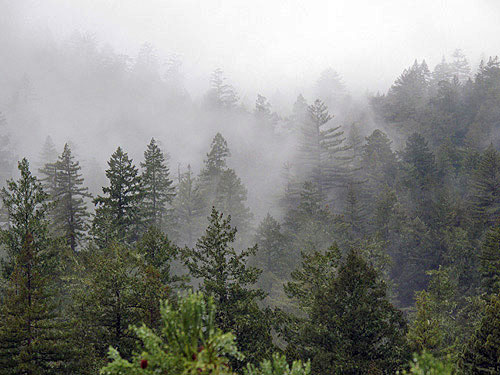 Old‐growth forests along hillslopes, such as in Big Basin Redwoods State Park, are of shorter stature than those in valley bottoms, and there are many more Douglas‐fir trees sharing the canopy. Photo by Stephen Sillett, Institute for Redwood Ecology,  Humboldt State University
