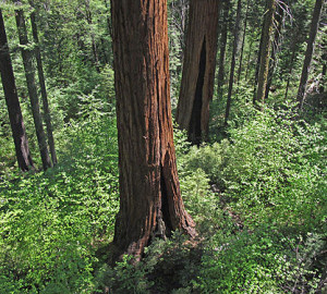 Understory vegetation in giant sequoia forests is often lush, especially near streams, such as in this view of Calaveras Big Trees State Park. Photo by Stephen Sillett, Institute for Redwood Ecology, Humboldt State University