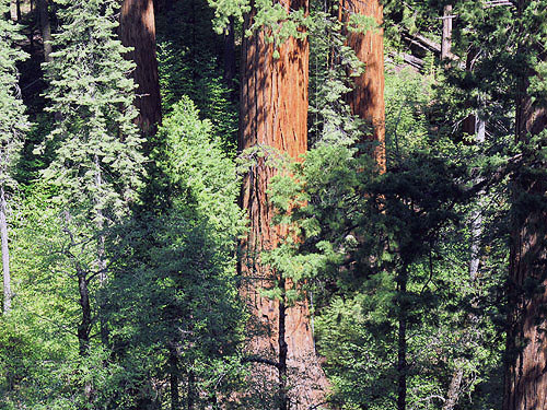 Bright orange trunks of giant sequoias stand out prominently in old‐growth forests, such as in this view of Calaveras Big Trees State Park. Photo by Stephen Sillett, Institute for Redwood Ecology,  Humboldt State University
