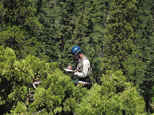 Giant sequoias invest enormous energy in seed production via long‐lived and photosynthetic cones, such as these being counted by Cameron Williams at the top of a 284‐foot‐tall tree in Calaveras Big Trees State Park. Photo by Stephen Sillett, Institute for Redwood Ecology,  Humboldt State University