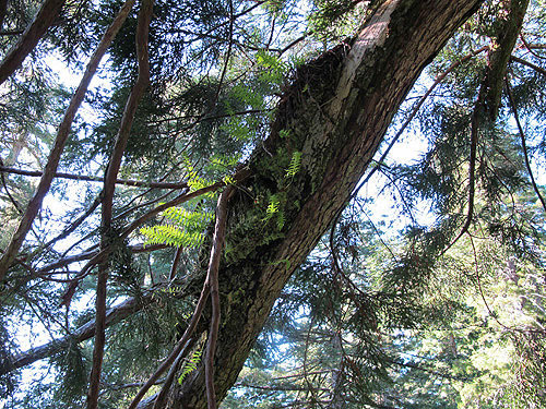 Epiphytic ferns, such as this Polypodium glycyrrhiza, are a common inhabitant of old‐growth redwood rain forest canopies and grow on top of the tree branches. Photo by Stephen Sillett, Institute for Redwood Ecology,  Humboldt State University