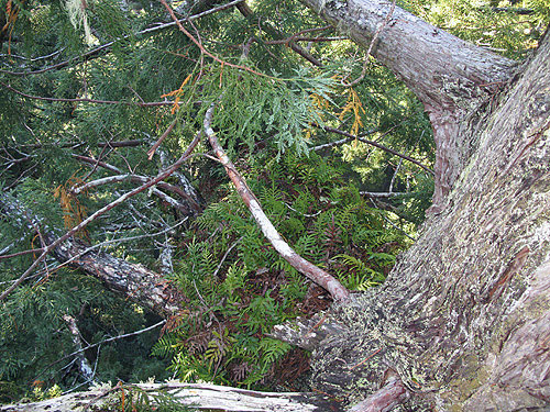 The evergreen fern Polypodium scouleri growns in thick mats high above the ground. Photo by Stephen Sillett, Institute for Redwood Ecology,  Humboldt State University