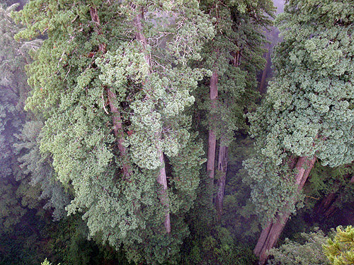From the top of the upper redwood canopy looking down. Photo by Stephen Sillett, Institute for Redwood Ecology,  Humboldt State University
