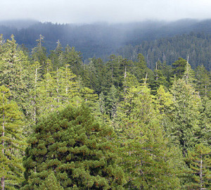 Weather changes quickly in the redwood forest, often alternating between sun and thick fog. Photo by Stephen Sillett, Institute for Redwood Ecology, Humboldt State University