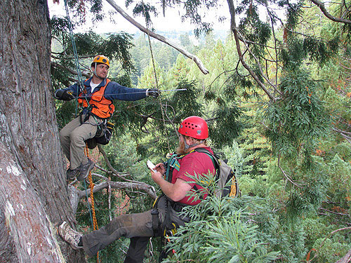 Crown‐mapping involves measurements of heights, diameters, distances, and azimuths of all branches. Here Jim Spickler (left) extends a steel tape to measure the horizontal extension of a dead branch while Bob Van Pelt (right) records the measurement. Photo by Stephen Sillett, Institute for Redwood Ecology,  Humboldt State University
