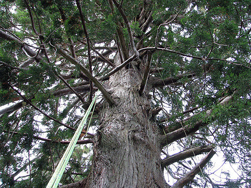 The view looking up through the branches of a 356‐foot‐tall tree reveals  hundreds of branches, each with distinctive shape. Photo by Stephen Sillett, Institute for Redwood Ecology,  Humboldt State University