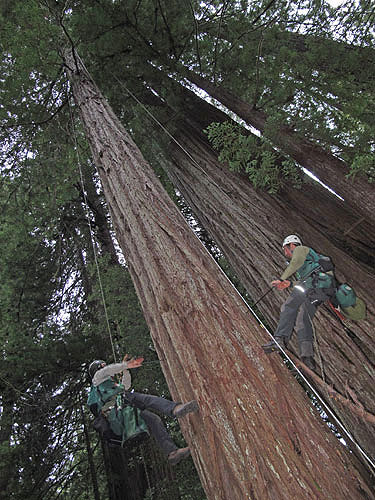 We collect wood cores to measure the tree age and growth history recorded in tree rings. Here Steve Sillett (left) and Anthony Ambrose (right) core the lower trunk of a 155‐year‐old redwood. Photo by Stephen Sillett, Institute for Redwood Ecology,  Humboldt State University