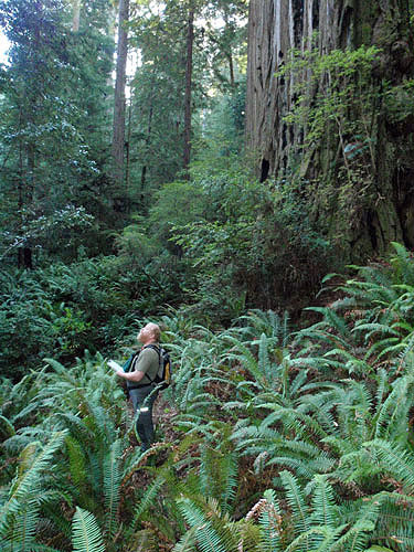 Bob Van Pelt stands amidst lush ferns in a spectacular old-growth forest, surveying the vegetation. Photo by Stephen Sillett, Institute for Redwood Ecology,  Humboldt State University