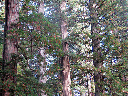 The lower crowns of tall redwoods are often sparsely branched, but the redwood on the left has a well‐developed limb giving rise to a perfect reiterated trunk. Photo by Stephen Sillett, Institute for Redwood Ecology,  Humboldt State University