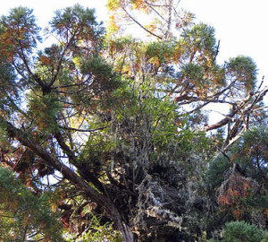Many species of plants can grow in the crowns of tall redwoods, including this rhododendron growing from a decaying upper trunk 330 feet above the ground. Photo by Stephen Sillett, Institute for Redwood Ecology, Humboldt State University