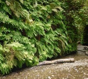 Fern Canyon is all its ferny glory.