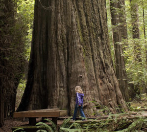 Founders Grove, Humboldt Redwoods State Park. Photo by Julie Martin