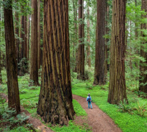 Visitor hiking in redwood forest