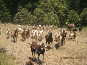 A hungry herd of goats is taking care of a thorny restoration problem at the League's Cape Vizcaino property.