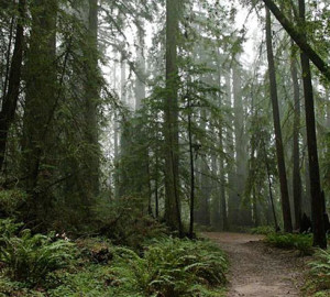 Grove of the Old Trees. Photo by Save the Redwoods League